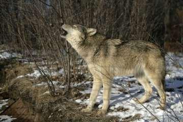 Nye tiltag til forebyggelse af ulveangreb på husdyr