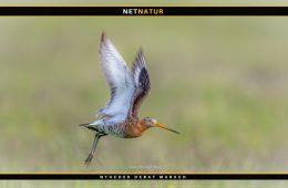 Engfugle trives med mere vand i Tønder-marsken