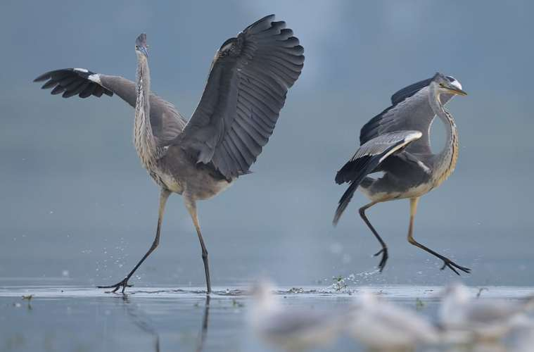Årets tidlige fugleunger: Familien fiskehejre