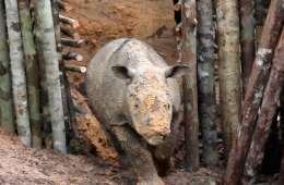 Fornyet håb for sumatranæsehorn