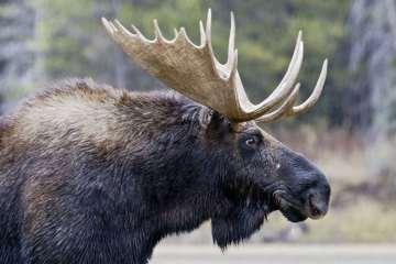 Krieghoff på jagt efter Moose og Caribou