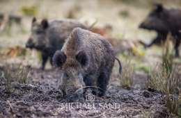 Fakta om svinepest og risici