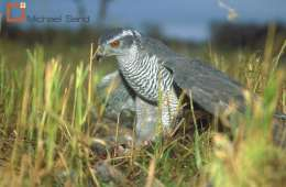 Duehøg fanget i fælde med levende lokkefugl