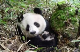 Kæmpepandaen ikke længere truet