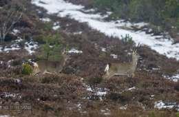 Sådan foretrækker jægere at danske at nedlægge råvildt med hagl