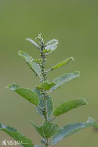 En plante som rødel kan under ideelle forhold vokse 1,5 meter om året.