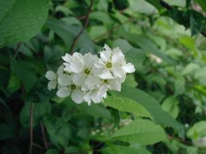 Kend dine vildtplanter: Almindelig hæg