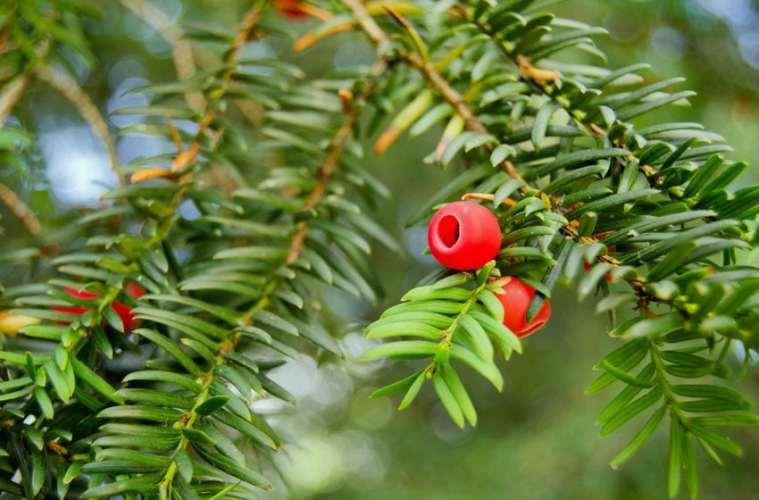 Kend dine vildtplanter: Taks