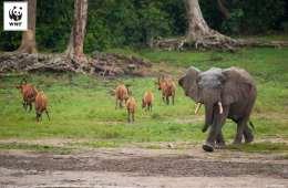 Afrikanske skovelefanter truet af krybskytter