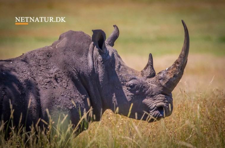 Swaziland overvejer at sælge horn fra næsehorn