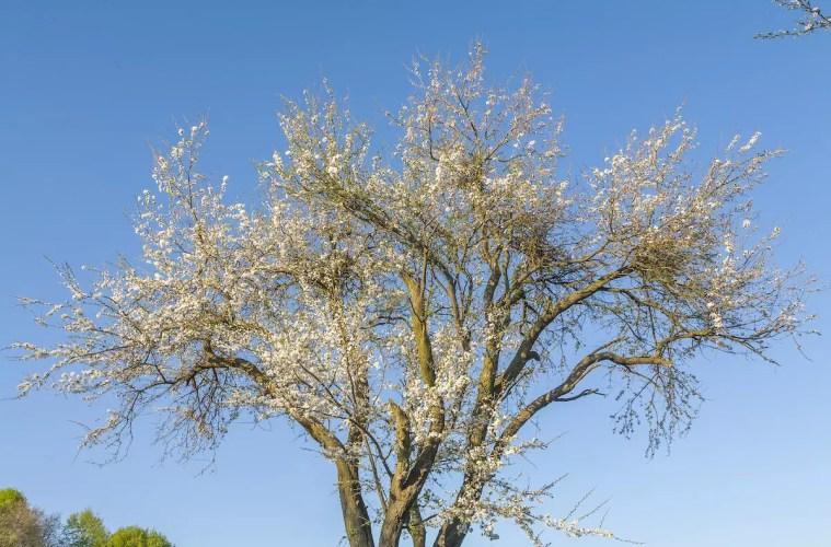 Kend dine vildtplanter: Mirabel