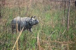 Nepal: WWF sætter stærkt ind for at bevare truet næsehorn