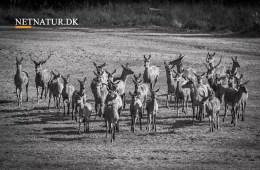 Bekendtgørelse om jagttid for visse pattedyr og fugle m.v.