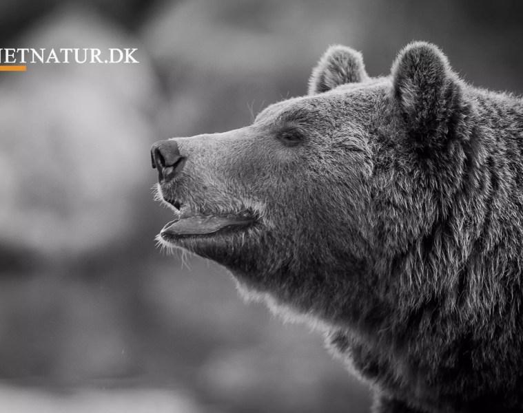 Bjørn skudt i selvforsvar