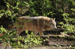 DN om ynglende ulve: Stadig ingen fare for os