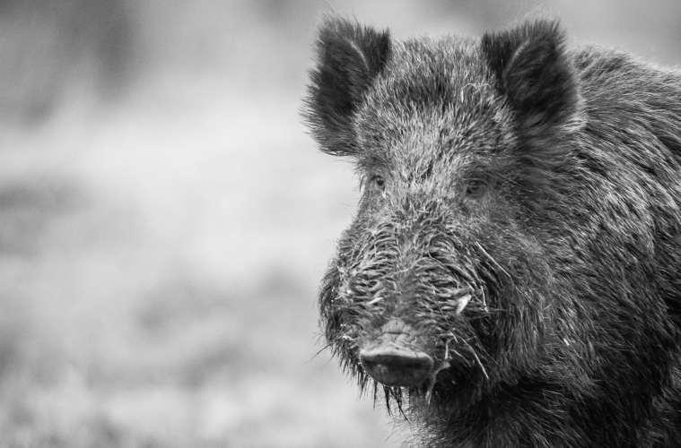 Miljøministeren vil de danske vildsvin til livs
