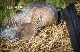 Længere jagttid gav større udbytte af kortnæbbede gæs
