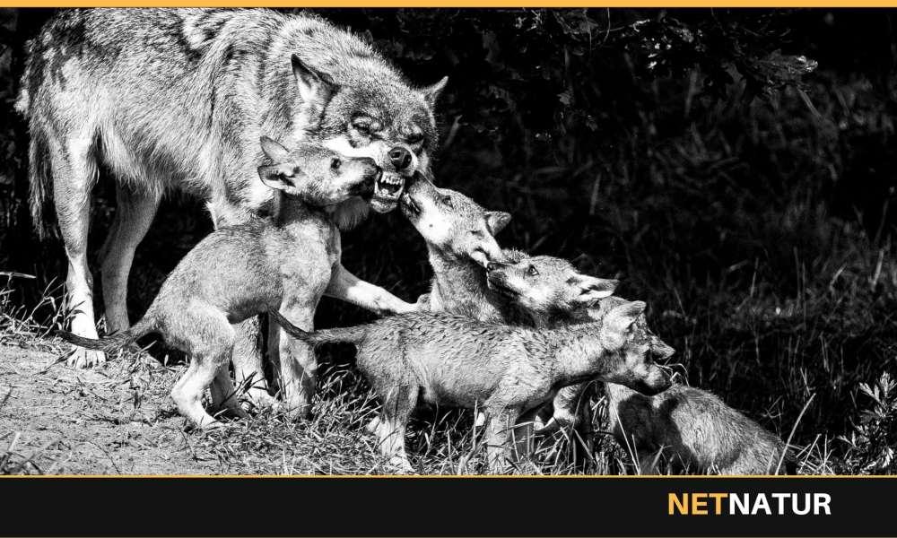 Nordjydere er mest kritiske over for ulve i Danmark