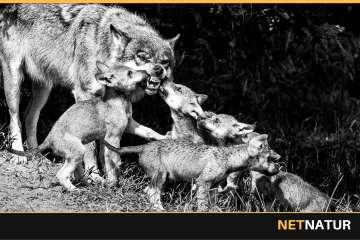 Nordjyder er mest kritisk over for ulve i Danmark