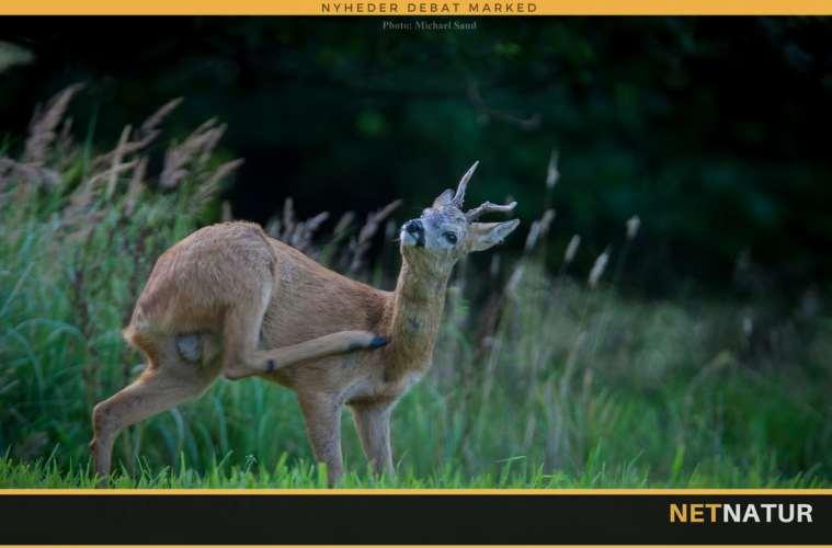 Naturstyrelsen udlejer jagten i Vestskoven Ledøjevej