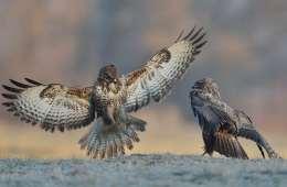 Musvågen - Danmarks mest udbredte rovfugl