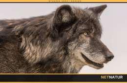 Endnu en fredet ulv fundet dræbt i Oregon