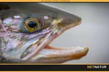 Fluefiskeri efter regnbueørred i Kamchatka
