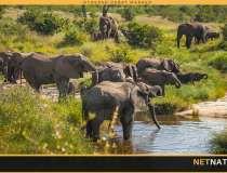 Bør 9 ud af 10 elefanter nedlægges i Kruger?