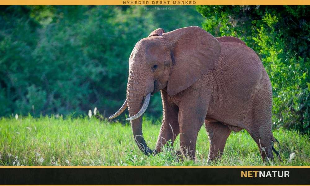 Krybskytter dræber 55 elefanter – om dagen