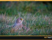 Rottegift ender i rovfugle og rovdyr