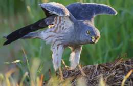 Hedehøgen - lange vinger over marsken