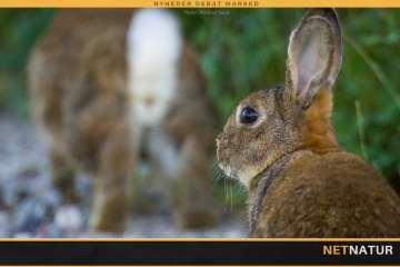 De vilde kaniner