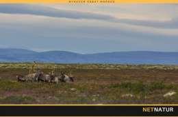 CWD fører til udryddelse af 2.200 rensdyr