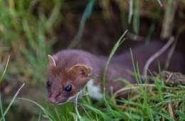 Bruden - Danmarks mindste rovdyr