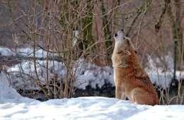 Er den danske ulvedebat ved at gå over gevind?