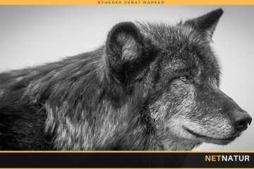 Ulvejagt i Montana