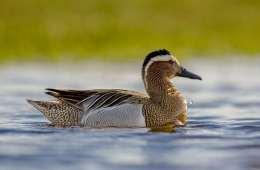 Atlinganden - den langtrejsende trækfugl