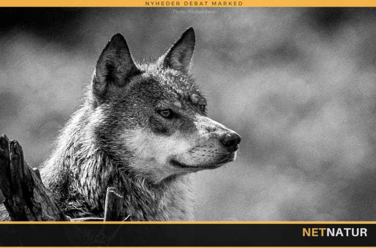 To års fængsel for at dræbe en ulv