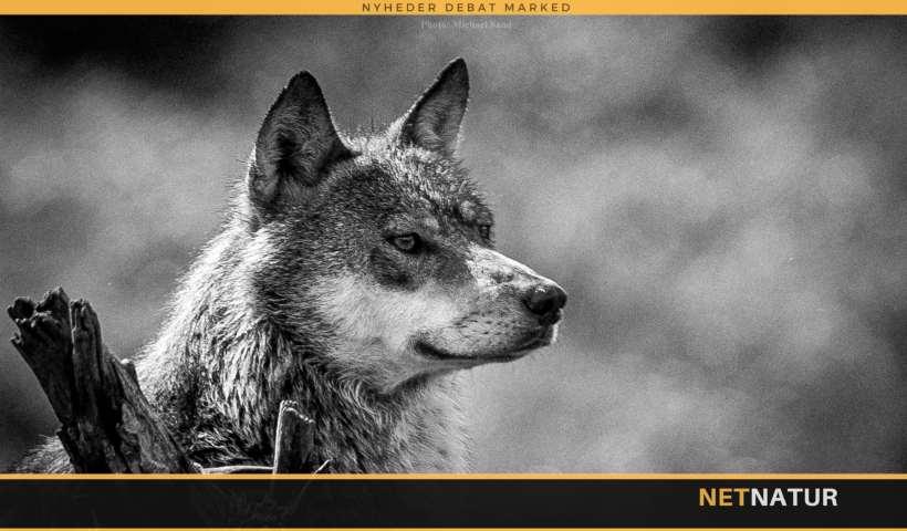 """Hvad """"koster"""" det at nedlægge en ulv ulovligt?"""