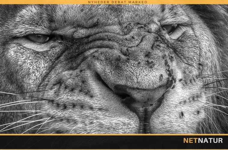 Løver dræber formodet krybskytte