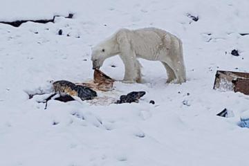 Grønlandsk by fik 21 besøg af isbjørne