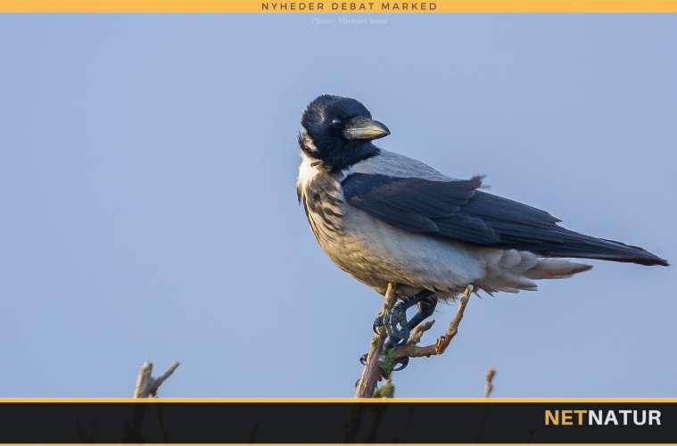 Regulering af krager