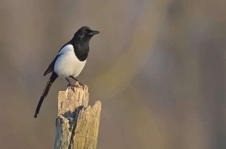 Husskaden - en altædende rovfugl