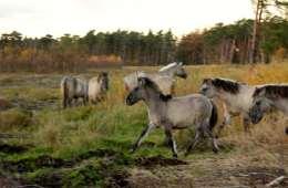 I den østlige del af Danmark kan man nu opleve vilde heste, der minder om den oprindelige, europæiske vildhest, tarpanen