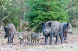 Blev etikken det første offer blandt de danske vildsvin?