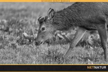 Jæger og landmand stiller skarpt på fodring af kronvildt