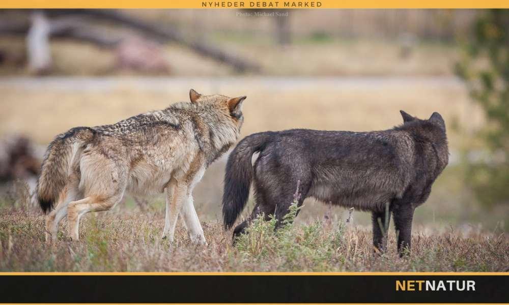 Er de danske ulve ægte ulve?