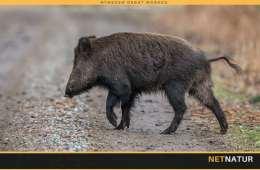 """WWF: Vildsvinehegnet er helt i """"hegnet"""""""