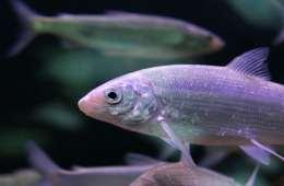 Helt - en eftertragtet laksefisk