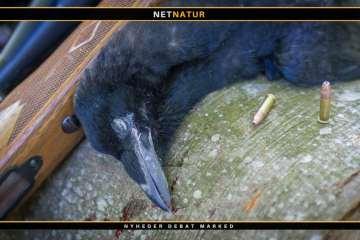 Filmklip og info om regulering af rågeunger